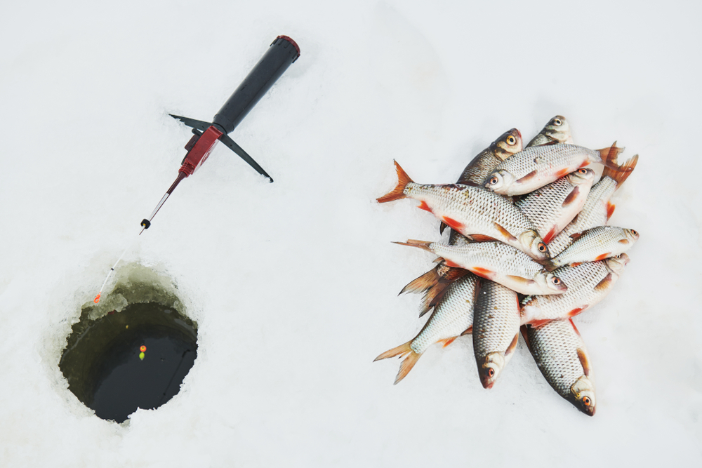 winter fishing. Roach fish catch on snow