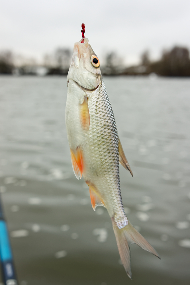 Roach fish on hook, caught on bloodworm in winter, float fishing